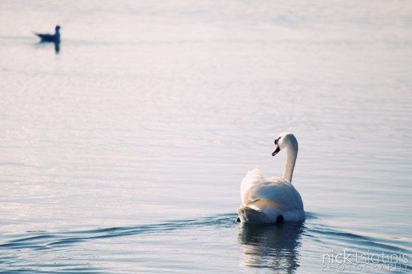 Swan at Watermead Country Park in Leicestershire