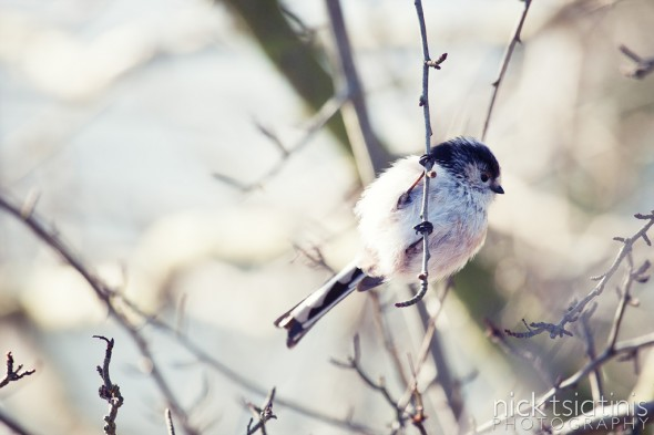 Long-tailed tit at Watermead Country Park