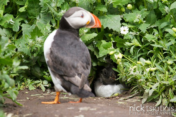 Baby Puffin