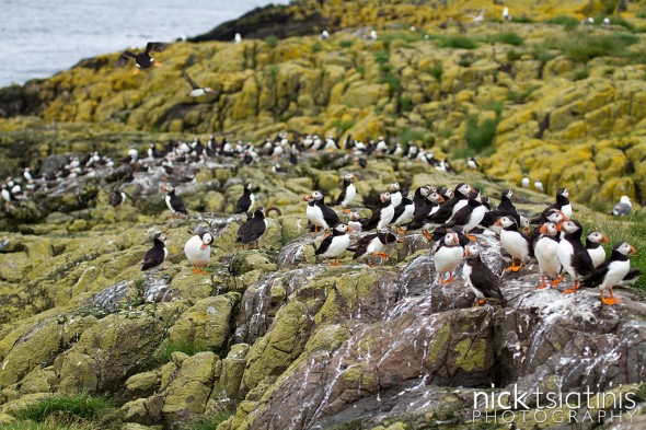 Puffin Colony on Staple Island