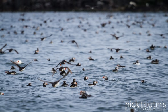 Puffins Everywhere